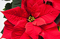 Poinsettia Sale Benefits Staff Council Scholarships